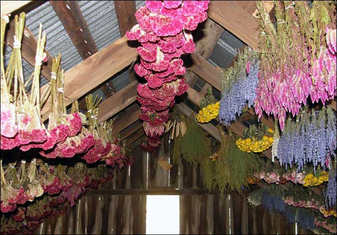 Dried Flower Arrangements - Dried flowers hanging from the barn beams