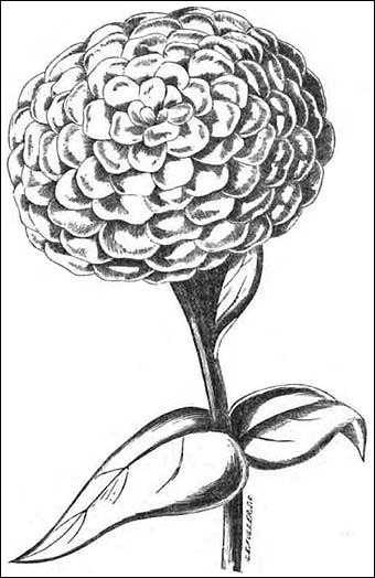 Marigold Flower Line Drawing : Colonial sense how to guides crafts natural dyeing