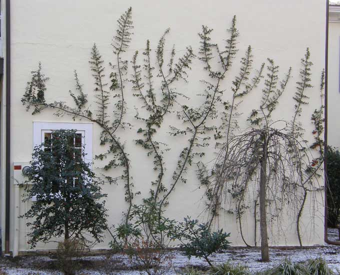 Colonial Sense How To Guides Outdoors Espalier Trees