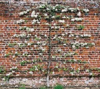 Espalier Trees - Blooming Espaliered Wall Fruit Tree