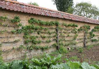 Espalier Trees - Espaliered Wall Fruit