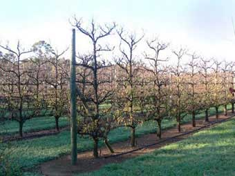 Espalier Trees - Espaliered Free Standing Fruit Trees