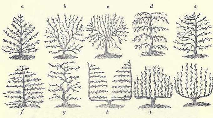 Espalier Trees - a. The herring-bone fan. b. The irregular fan. c. The stellate fan. d. The drooping fan. e. The wavy fan. f. The horizontal, g. The horizontal, with screw-stem, h. The horizontal, with double stem. i. The vertical, with screw shoots, Last picture. The vertical, with upright shoots.
