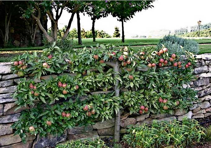 Rask Colonial Sense: How-To Guides: Outdoors: Espalier Trees: Modern WS-32
